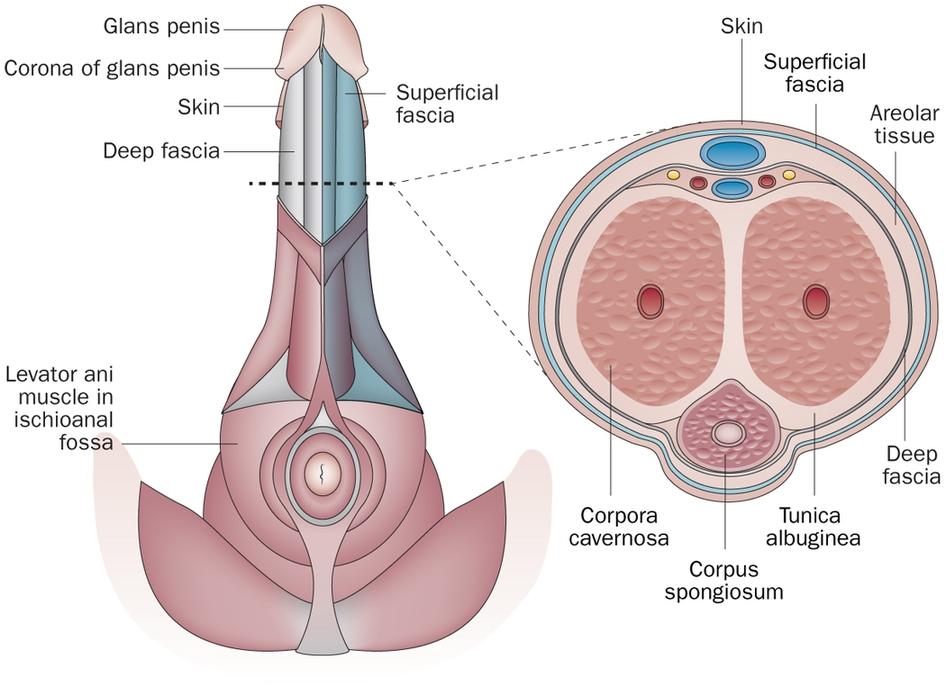 techniek penetratie penis